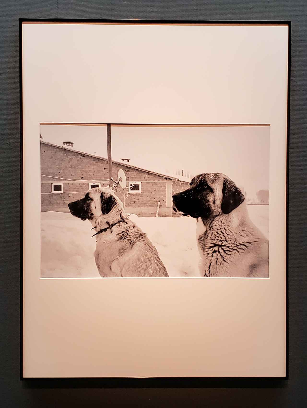 画像: オオカミから喉元を狙われるのを防ぐため、鉄のとげとげのついた首輪がはめられたカンガル。最初にオオカミと対決するカンガルにつけられるそう。(カンガルは一般的に連想されるカンガルーとは関係ないそうです。)