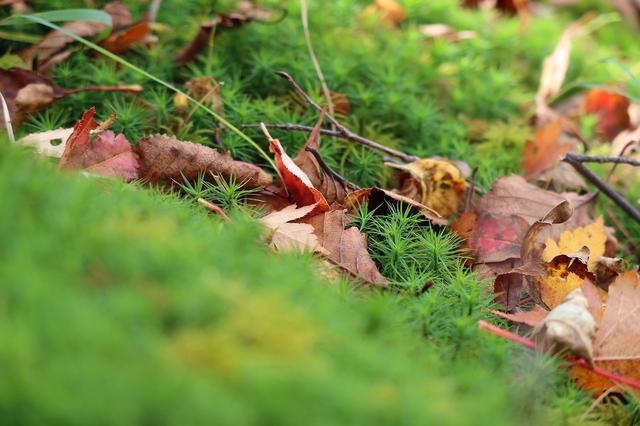 画像: <写真5>苔の森の中で前ボケと後ボケ。落ち葉はしっかり解像していますね。