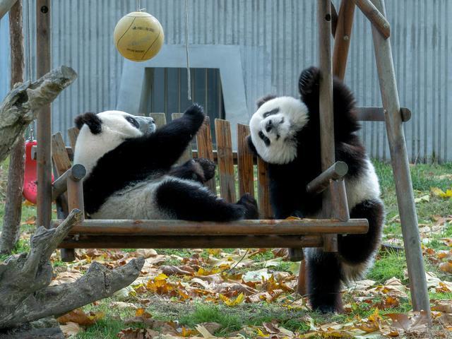 画像: ともに写真家の山岸伸氏と叶 悠眞氏による2人展「輓馬」~BANEI KEIBA(山岸氏)、「熊猫」~PANDA(叶氏)が、来る1月8日(水)より始まります。