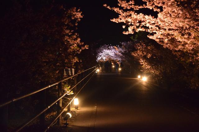 画像: 夜桜の撮影も!