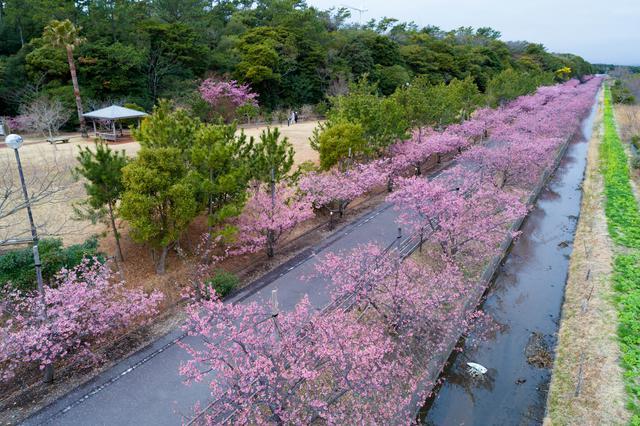 画像: 御前崎市でひと足早い春を感じてみてはいかがでしょう?