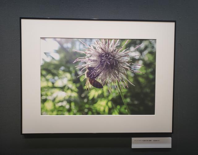 画像: 展示作品『チシマアザミの花蜜を採る蜜蜂(北海道深川市)』より