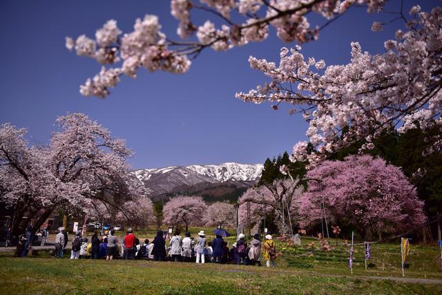 画像: 釜の越農村公園の桜群