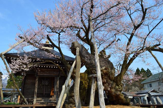 画像: 樹齢1,200年の「薬師ザクラ」