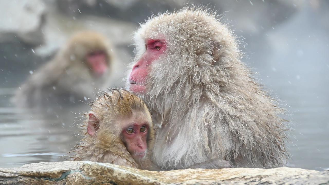 画像: 「Snow Monkey」より 長野県の地獄谷温泉のニホンザルたち。湯に浸かる動作や表情は、まるで人間のようで共感を覚える。子ザルのかわいらしいしぐさや表情も魅力的。 上映時間約2分16秒。
