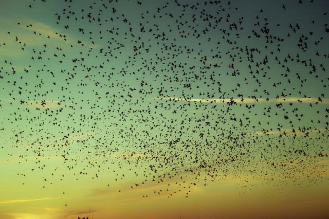 画像: ▲フィレンツェで突如大群のムクドリによる周回に出会った。恐怖を感じるほどの光景だったが彼らが巣に戻 るまで長い間空を眺めていた。 ■シグマdp3 Quattro 絞り優先AE(F5.6) WB:オート ISO100