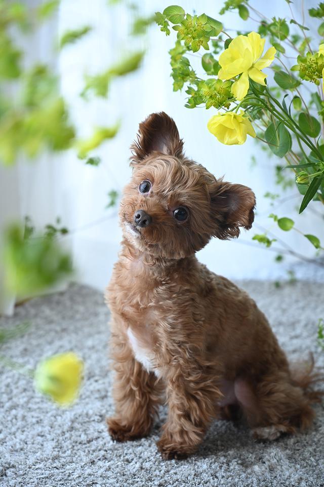 画像: ▲レースカーテン越しの柔らかな光の中で撮影。明るく爽やかな色の花を散らすように被写体の前後に配置して撮影した。足元にも花を散らすことによって、花で犬を包み込むようにスタイリング。カーテンを広げて透過する光をグラデーションに見立てて背景代わりにした。最初に遊んでコミュニケーションをとり、テンションの高いまま「おやつ」や「おもちゃ」をレンズの上にすっと乗せることでカメラに集中。パッチリとした目線と、しっかりと耳が立った状態で撮影できた。 レフなしで撮影 ■ニコン Z 7 NIKKOR Z 24-70mm F4 S 焦点距離70mm 1/40秒 F4 ISO800