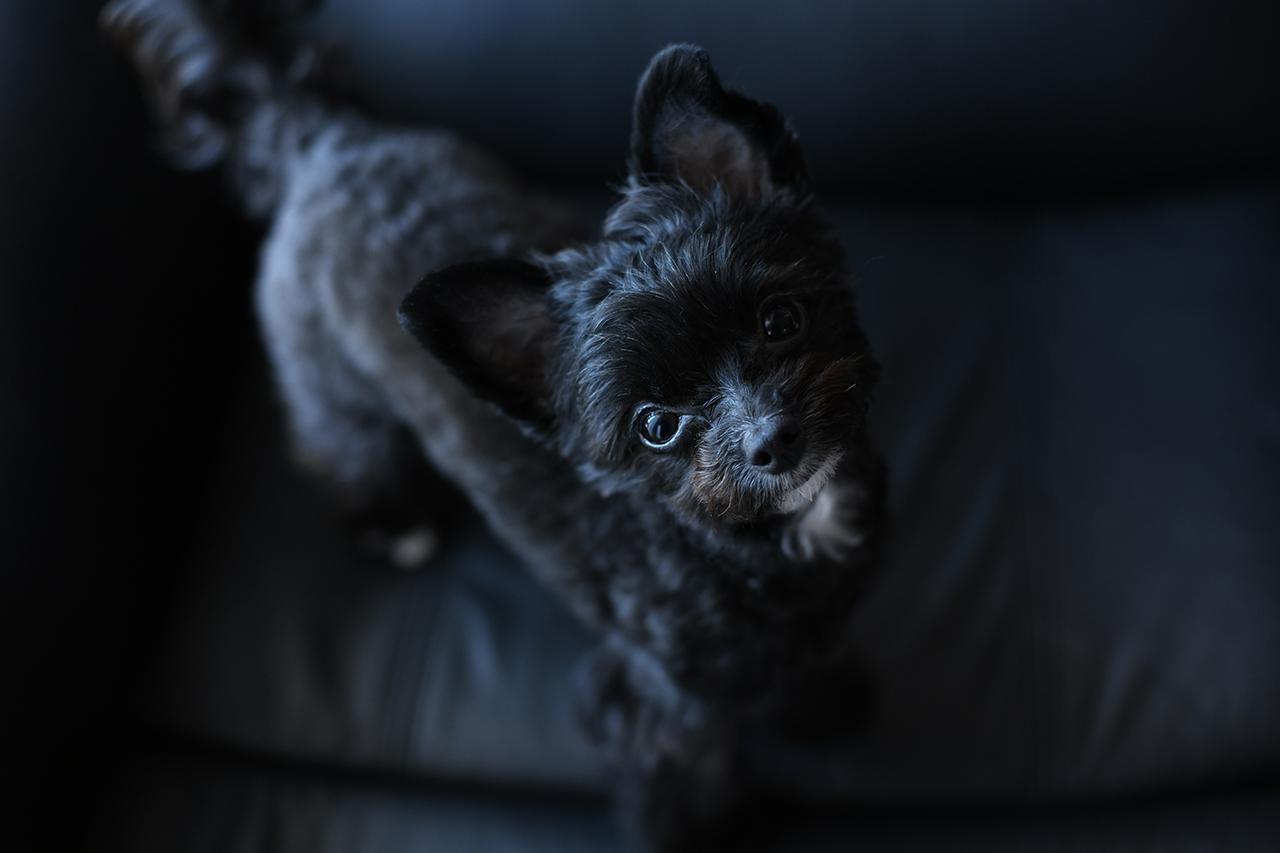 画像: ▲黒い犬を撮影するのにオススメなのが、しっかりと目にキャッチライトを入れることが大切。光を意識し、毛並みや瞳の輝きを写し取ることによって、生き生きとした写真になる。この一枚は、あえて黒いソファーの上で黒い犬を撮影。瞳に光を入れることで、表情がはっきりとして真っ直ぐでピュアな目線を撮影することが出来た。 ■ニコン D850 50mm F1.8 絞りF2.8 1/80秒 ISO800