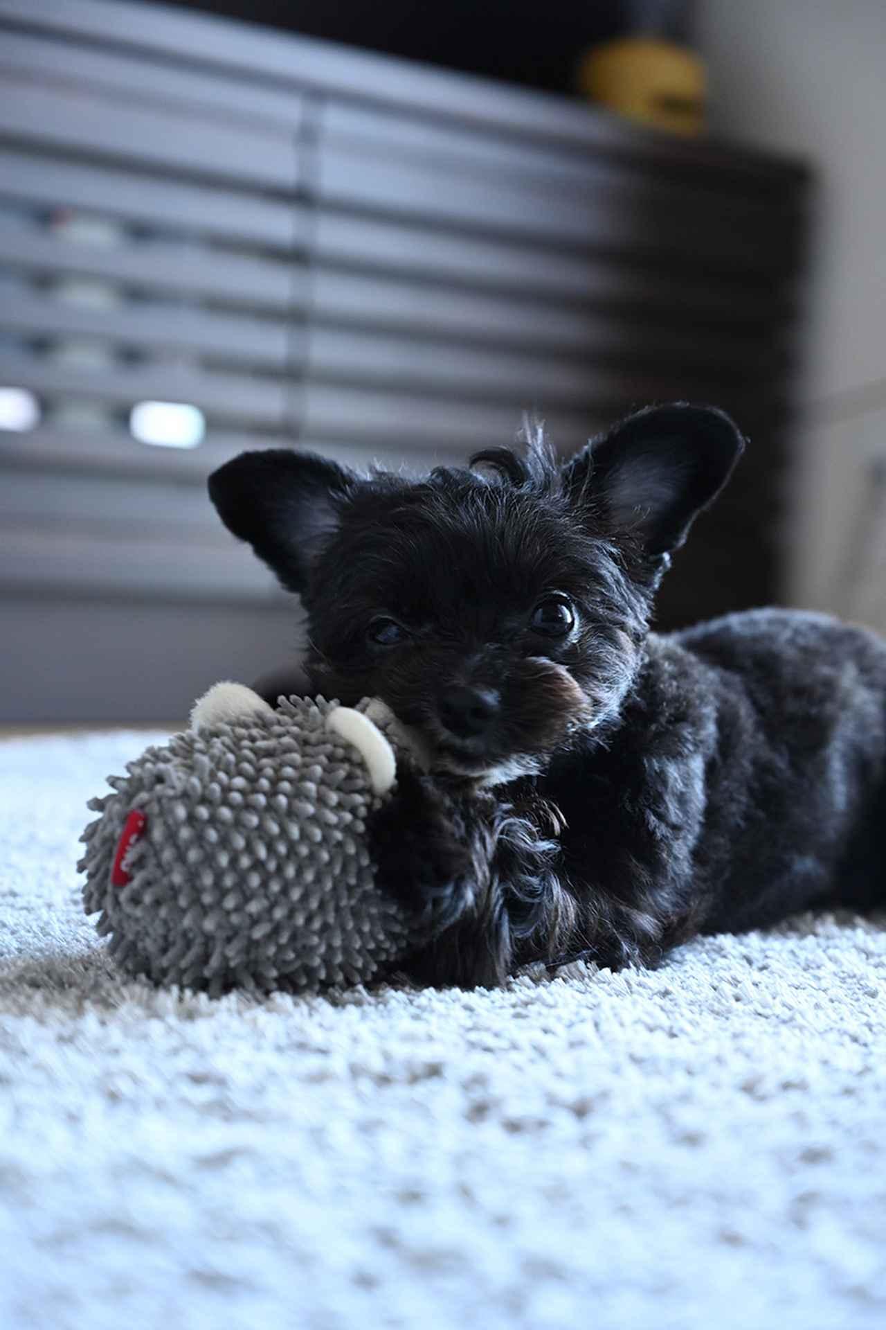 """画像: ▲犬がおもちゃで遊んでいるところを、リビングに寝そべって撮影。犬の高さに目線を合わせることによって臨場感のある、良い表情を捉えられた。犬が動いているシーンは「動物瞳AF」が活躍する。遊んでいるときはリラックスしているので、""""おうちフォト""""ならではの写真が撮れる。一瞬ごとに変化する可愛い表情を捉えるのに何回もシャッターを押した。 ■ニコン Z 7 NIKKOR Z 24-70mm F4 S 焦点距離70mm 絞りF5 1/60秒 ISO1250"""