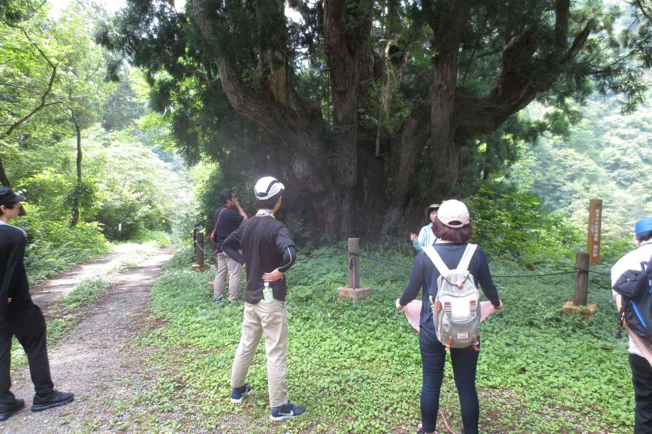 画像: 洞杉  スギの周りには遊歩道があり、散策できる。