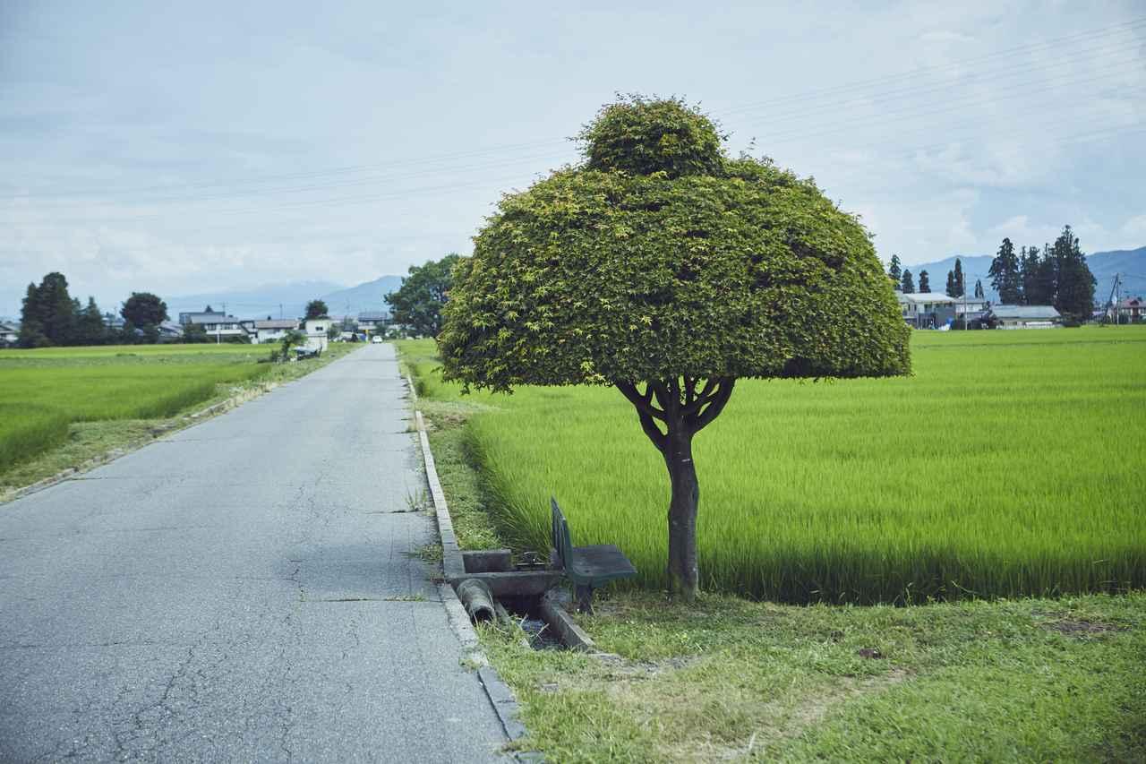 画像: 紅葉の木(ニット帽の木)(徹子の木)