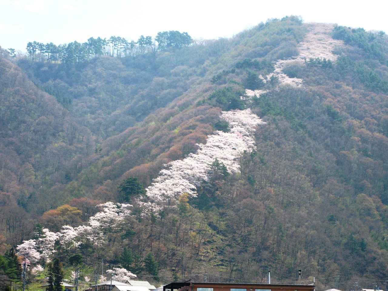 画像: 光城山の桜