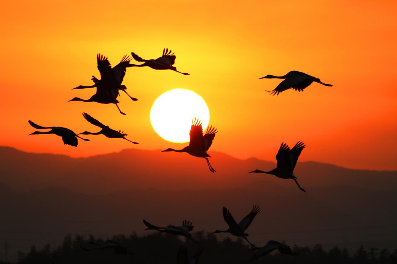 画像: ▲日の出とともに、ねぐらを飛び立つツル。 www.izumi-navi.jp