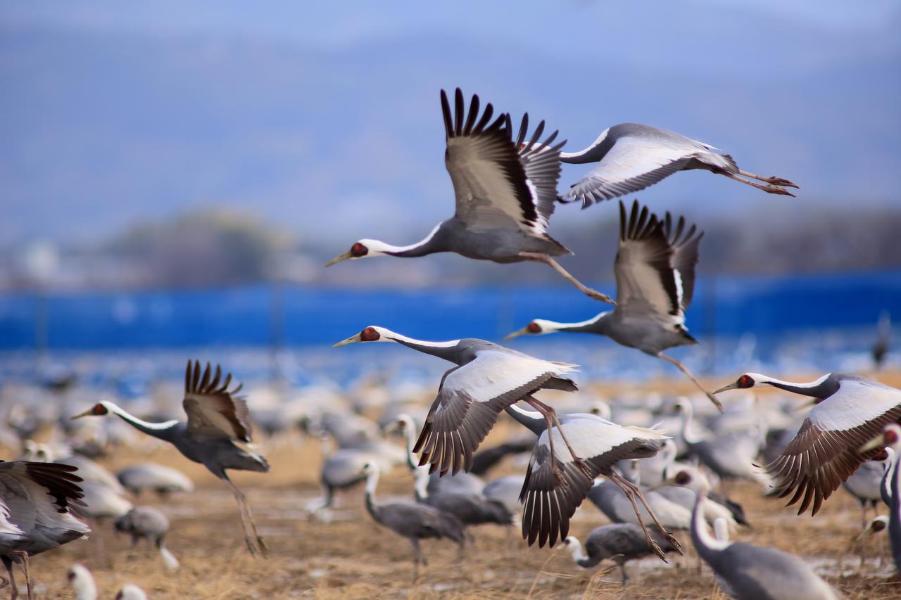 画像: ▲冬の使者ツルは毎年1万羽を超す羽数が渡来する。 www.izumi-navi.jp