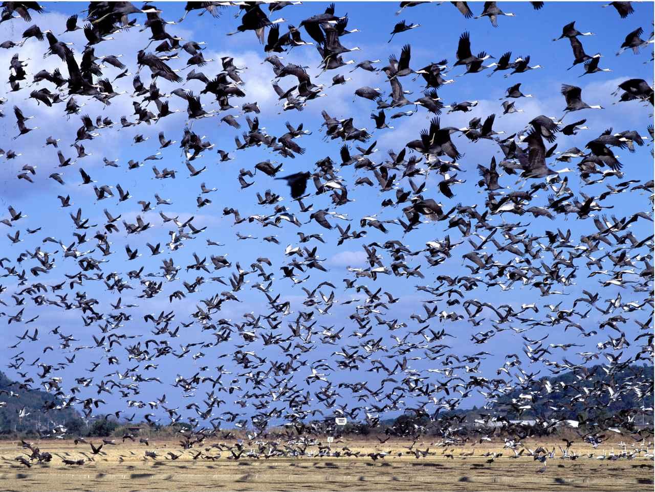 画像: ▲青空に舞うツルの群れ。 www.izumi-navi.jp