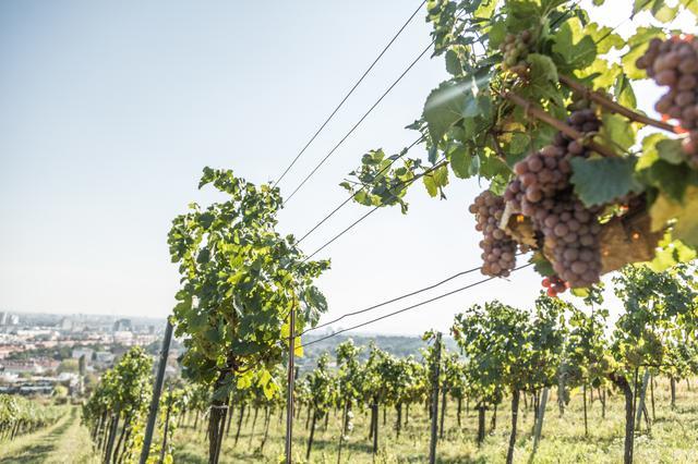 画像: ウィーンに広がる広大なワイン畑 @オーストリア政府観光局/Nina-Baumgartner