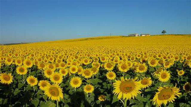 画像: スペイン・アンダルシア地方のひまわり畑(イメージ)