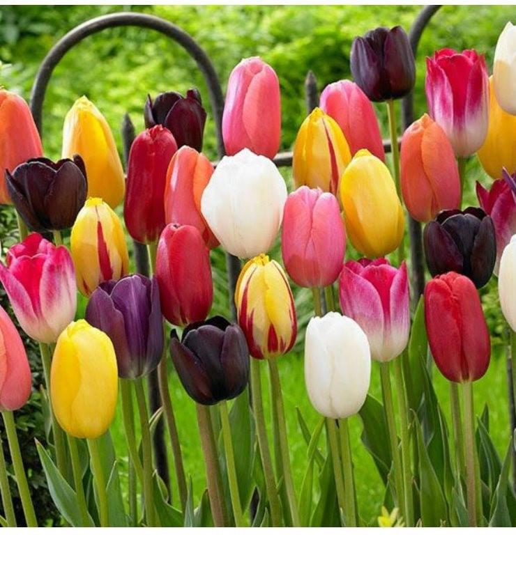 画像: チューリップの花言葉