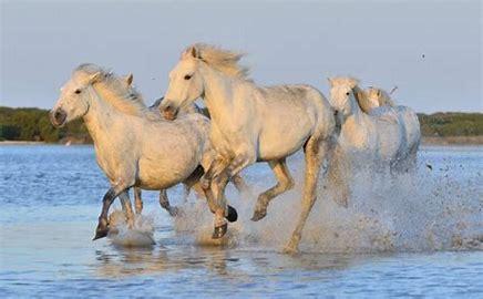 画像: カマルグの白馬 (イメージ)