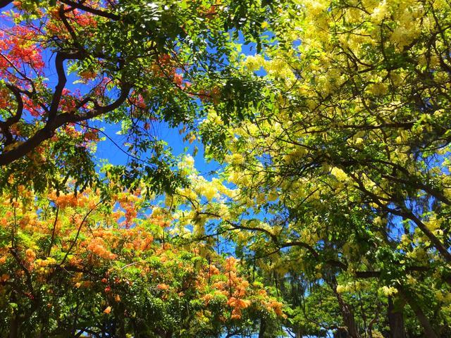 画像: 沿道に咲くシャワーツリー