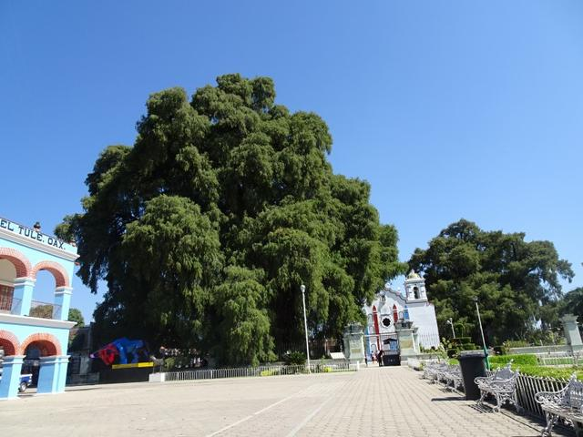 画像: 日中は周辺都市の観光です。写真はオアハカ近郊のトゥーレ 大迫力の樹齢2,000年を超える巨木が有名です その横にひっそりと建つ教会もかわいらしいですね