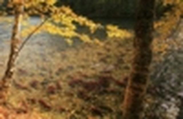 画像: 『4年に1度のサーモンラン!紅く染まる川面と黄金色の大地 カナダ6日間』10月10日出発限定催行決定!/12名様限定/ウィスラーやスコーミッシュ観光も|クラブツーリズム