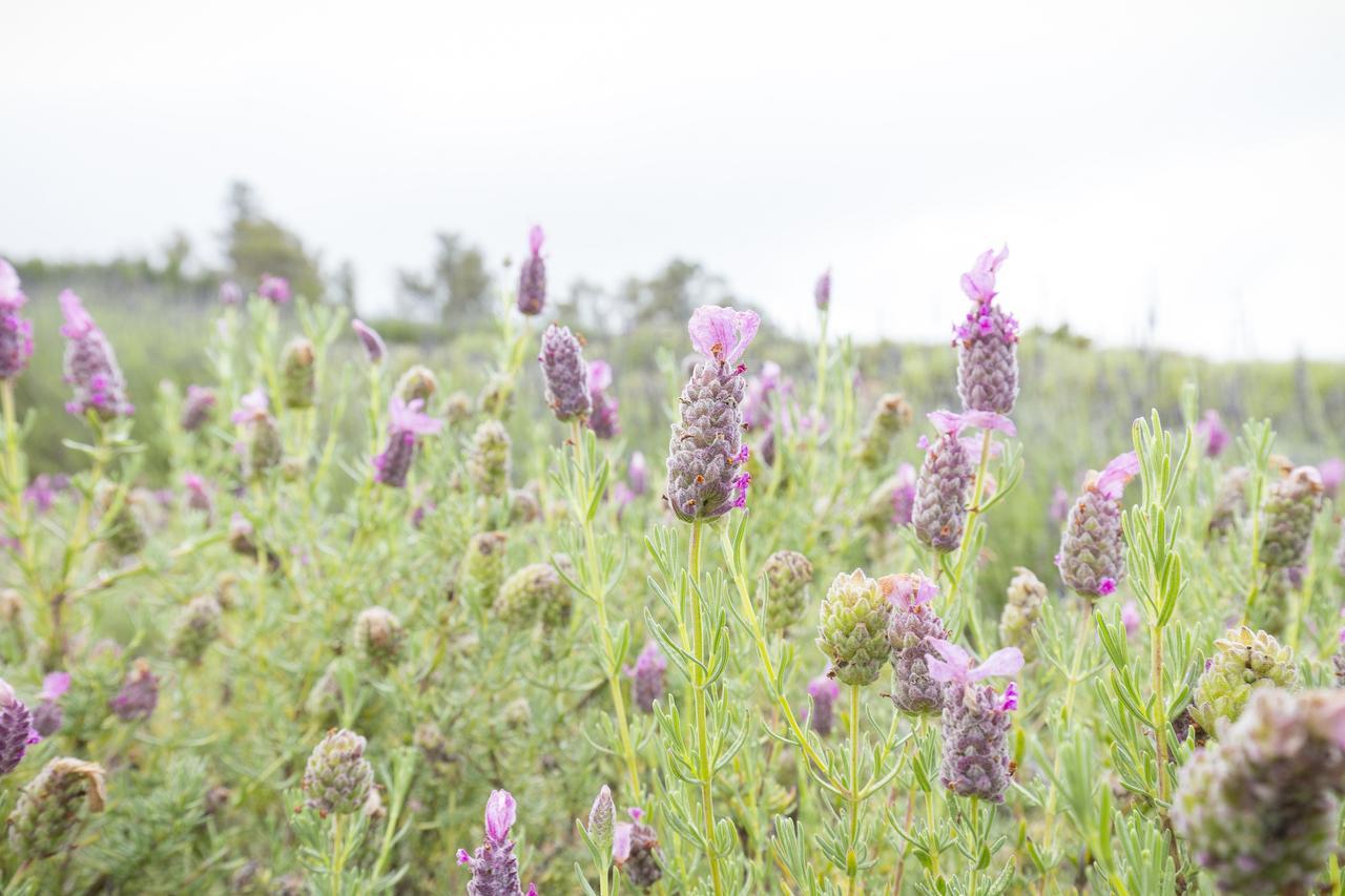 画像: 5~6月に最も見頃となるラベンダーの花