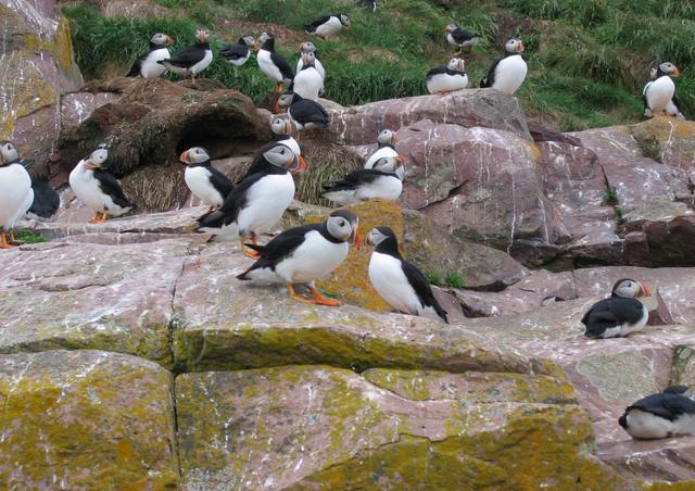 画像: 州鳥のパフィンの群れ(©イワシタフミコ)