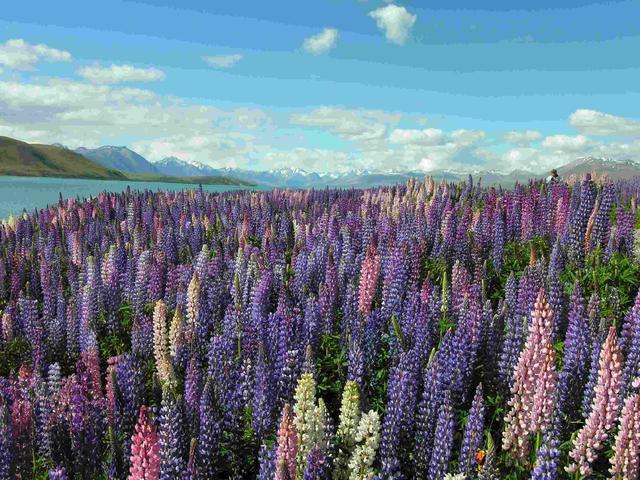 画像: 『一年に一度のルピナスの絶景に出逢う ニュージーランド花街道 5日間』|クラブツーリズム