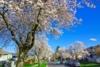 画像: 『イエローナイフのオーロラと桜咲くバンクーバー7日間』2020年4月&GW出発!4月は晴天率高くオーロラ観測に適した季節/各日18名様限定|クラブツーリズム