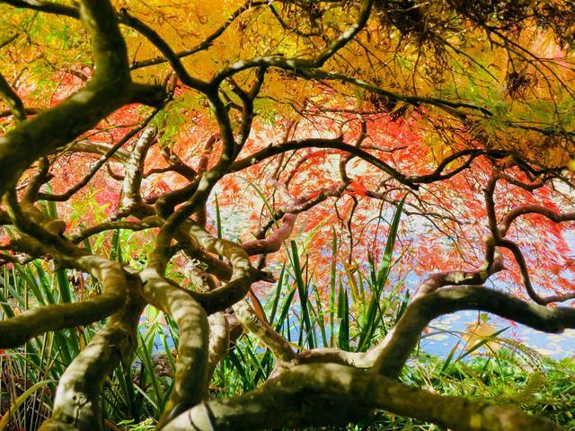 画像: 真っ赤に染まるバンドゥーセン植物園の紅葉(バンクーバー)