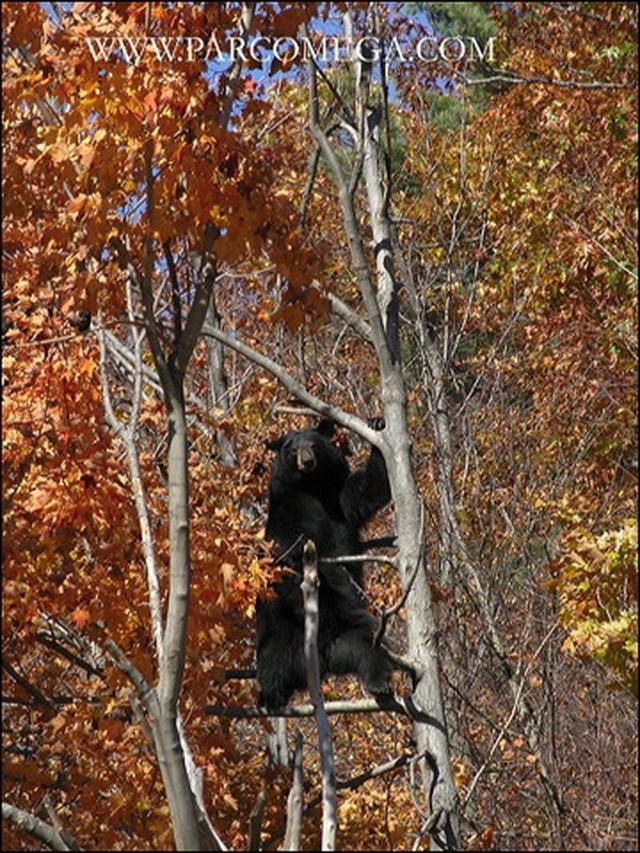 画像: オメガパークのブラックベア/©www.parcomega.com