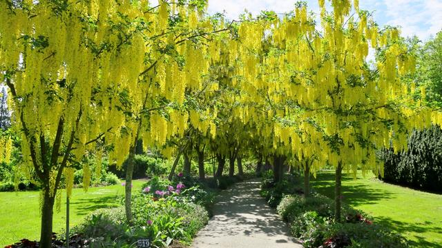 画像: バンデューセン植物園のキバナフジ(イメージ)