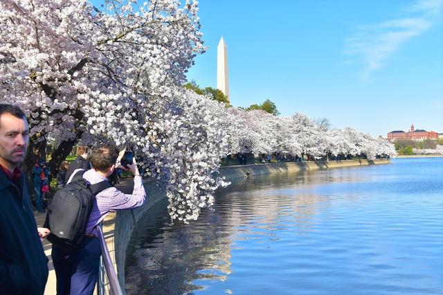 画像: ポトマック川の桜(イメージ) 撮影:中川(2019年4月1日撮影)