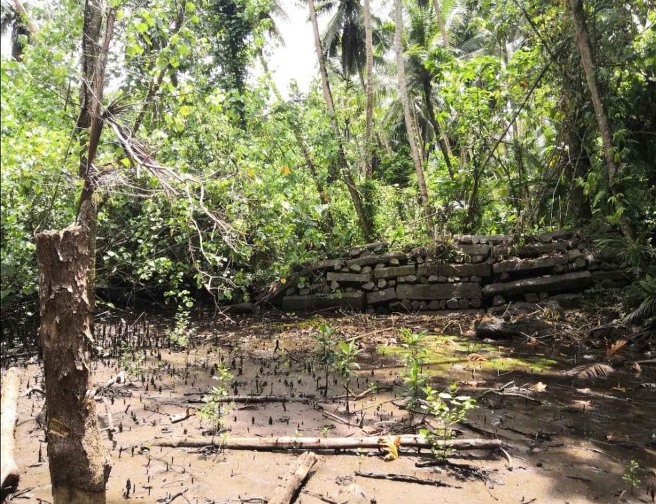 画像: ちなみに回りの植物は全てマングローブ