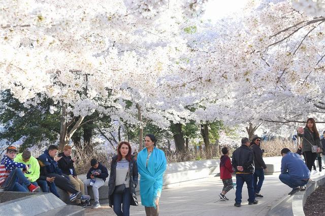 画像: ポトマック川周辺は桜一色でした(企画担当者撮影)