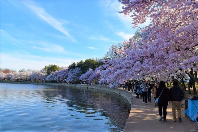画像: ポトマック川周辺が一番桜がきれいに開花します(企画担当者撮影)