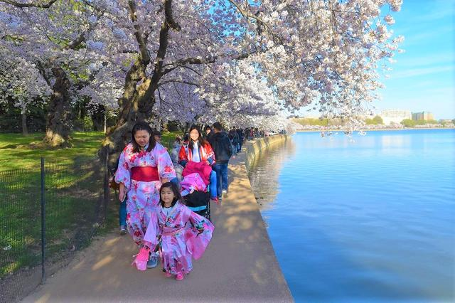 画像: アメリカの方も着物を着て、桜を楽しみます(企画担当者撮影)