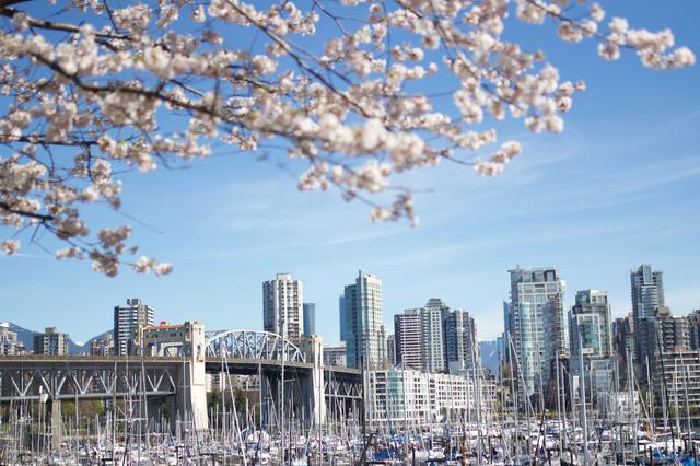 画像: バンクーバーダウンタウンと桜/写真提供:Tourism British Columbia ※桜見頃は4月頃