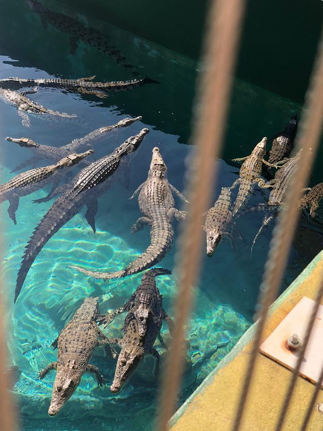画像: ダーウィンの観光へ 爬虫類のテーマパーク「クロコザウルスコーブ」では間近に見るワニの姿に皆様大興奮!
