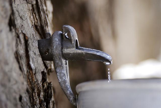 画像: (樹液の採取/イメージ)