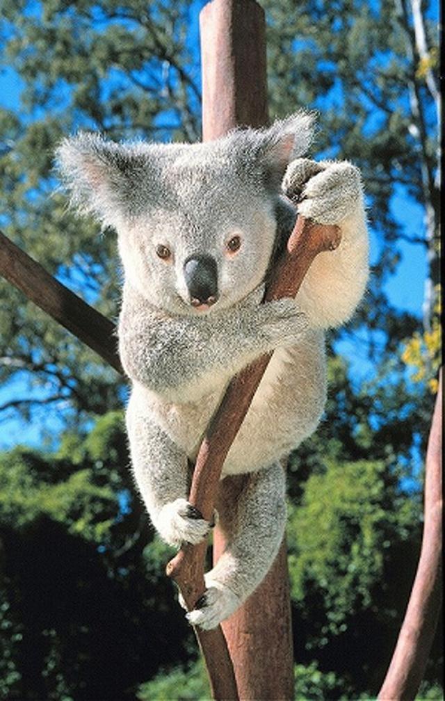 画像: <おひとり参加の旅>『1名1室確約 今こそ、オーストラリアへ!シドニー de コアラチャリティー5日間』|クラブツーリズム