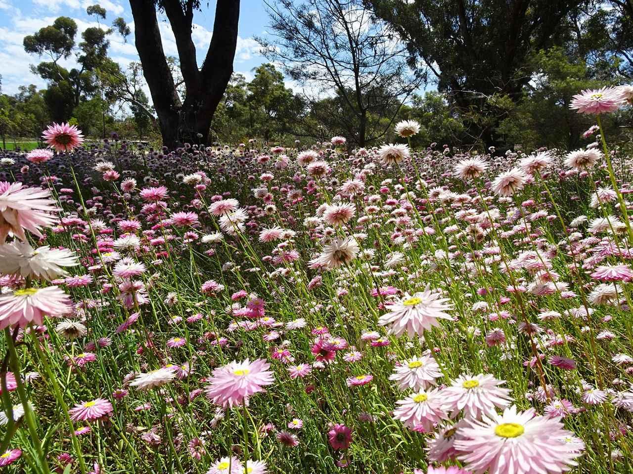 画像: キングスパークに咲くエバーラスティング(弊社添乗員撮影)※自然現象のためご覧いただけない場合があります