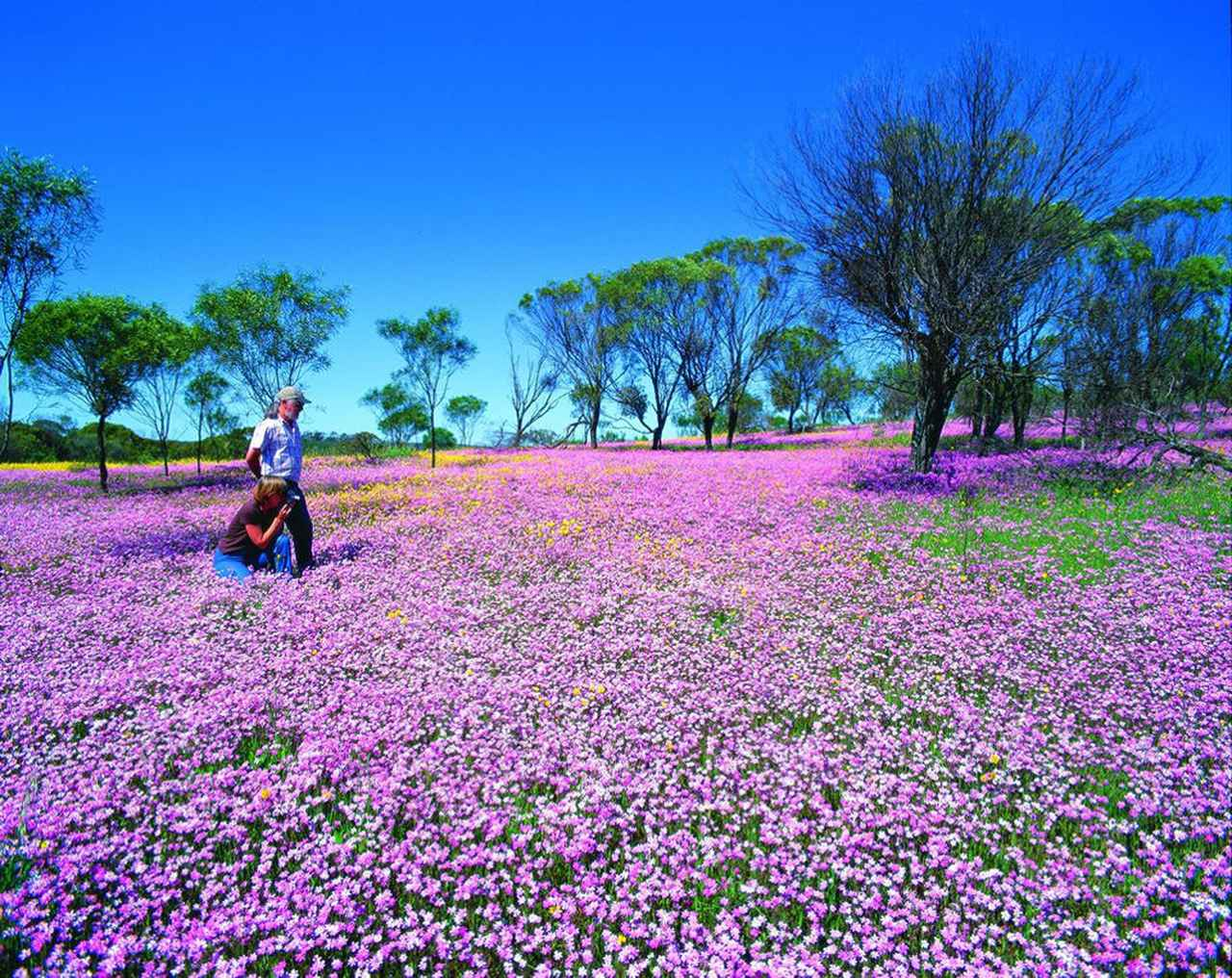 画像: 中西部のMullewa付近のピンクエバーラスティングの群生 (西オーストラリア州政府観光局より)※自然現象のためご覧いただけない場合があります