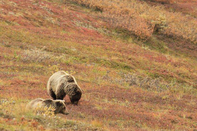 画像: デナリ国立公園のクマ(イメージ)