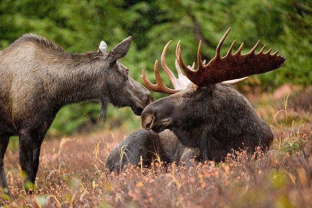 画像: ムースのカップル(イメージ)