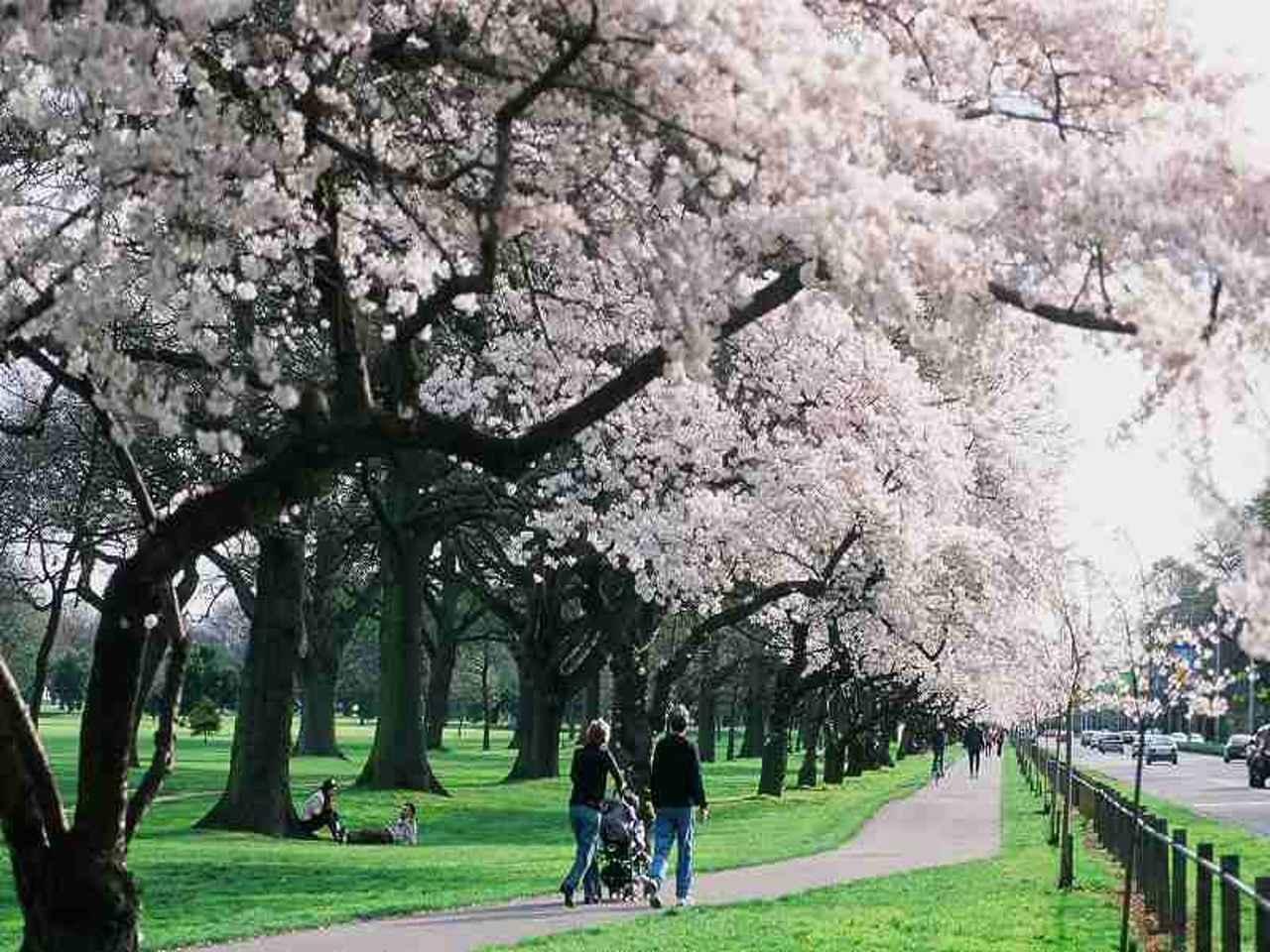 画像: クライストチャーチの桜並木/イメージ ※見頃は前後する場合があります