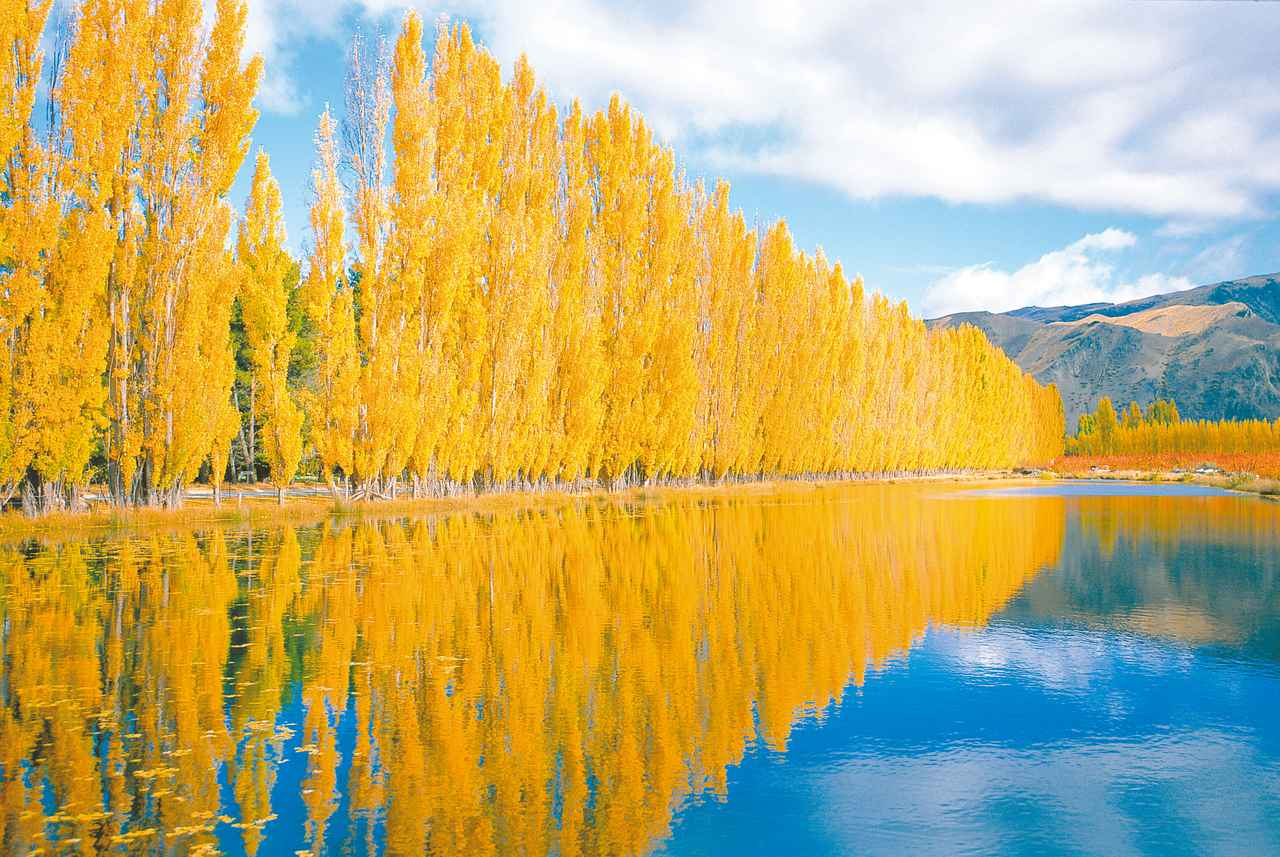 画像: クロムウェルの黄葉/イメージ ※見頃は前後する場合があります