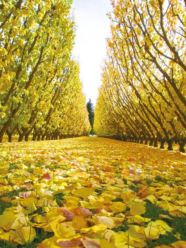 画像2: クロムウェルの黄葉(イメージ)