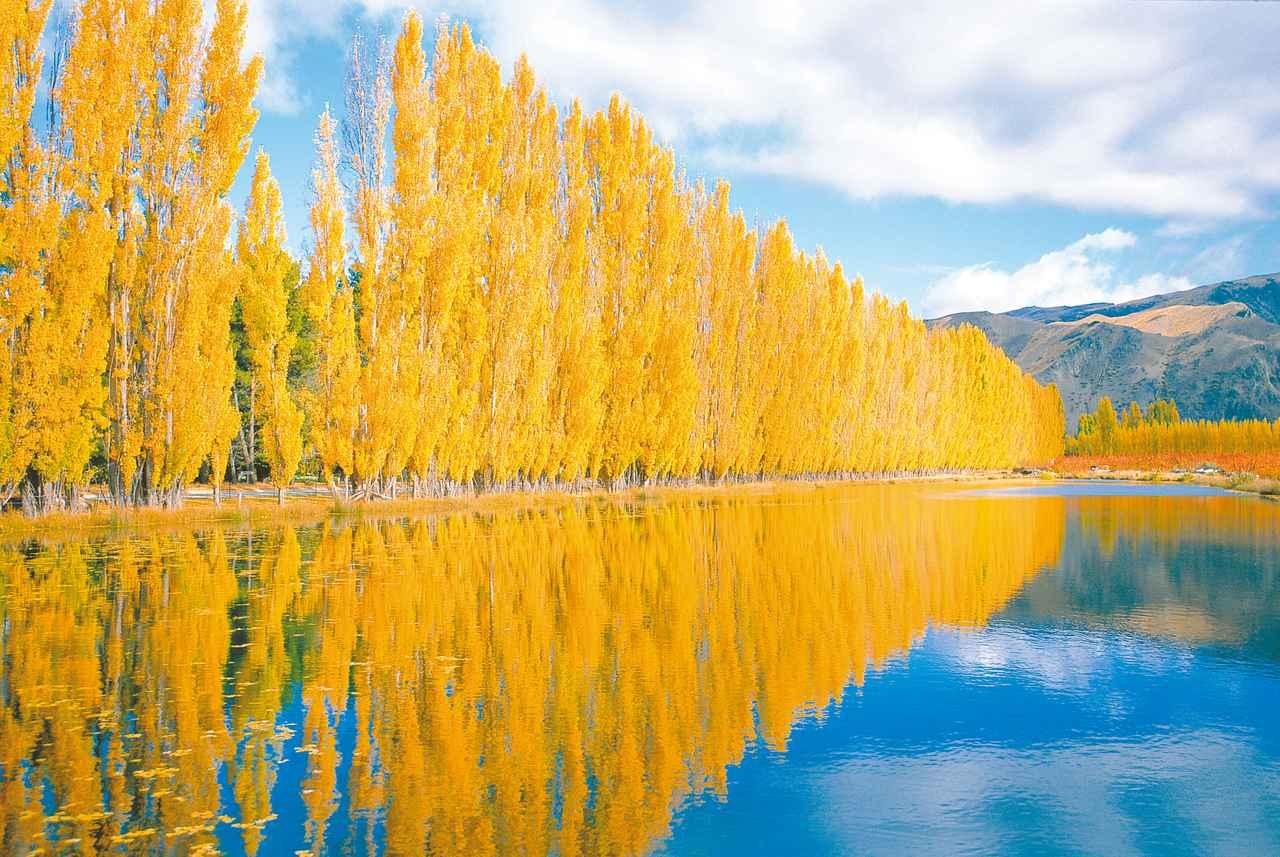 画像1: クロムウェルの黄葉(イメージ)